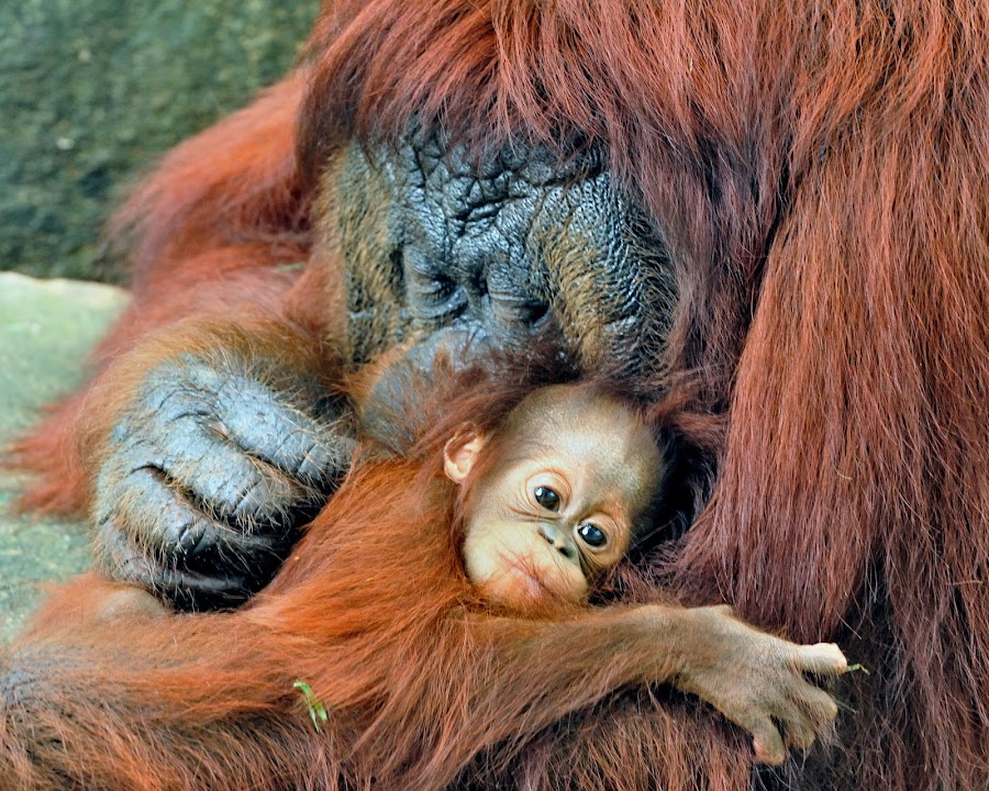 Orangutans by Tomasz Budziak - Animals Other Mammals ( animals, orangutan,  )