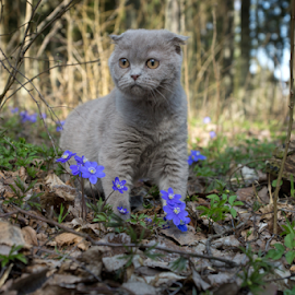 The cat in the forest... by Virginijus Juozapavicius - Animals - Cats Portraits ( cat, forest, flowers, scottishfold, spring )