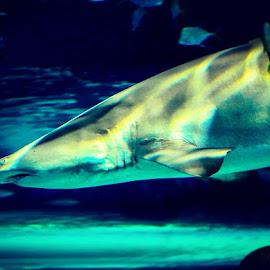 Shark by Sujit Shanshanwal - Animals Fish ( marine, aquatic, fish, aquarium, attack, shark )