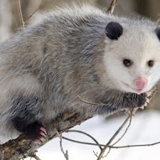 Cute Possums Wallpaper Images