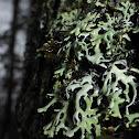 Hooded Tube Lichen