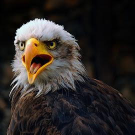 Sea Eagle by Stanley P. - Animals Birds