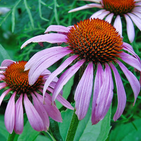 FRIENDSHIP by Wojtylak Maria - Flowers Flower Gardens ( echinacea, purple, blooming, july, garden, flower,  )
