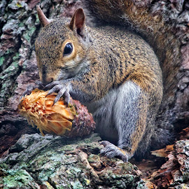Big Lunch! by Sandy Scott - Animals Other Mammals ( mammals, squirrel with nut, tree dwellers, small mammals, squirrel )