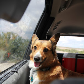 Where's Dad? by Amanda Crippes - Animals - Dogs Portraits ( window, camping, waiting, corgi, car ride )