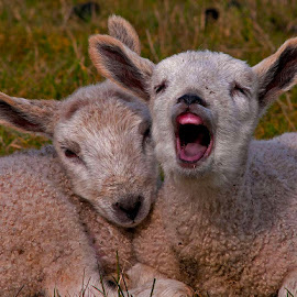 Relaxing in the Warm Spring Sun by Sparty Rodgers - Animals Other Mammals ( d300s, mammals, bluefaced leicester, 300mm ais lens, yawning, lambs, spring, twins )