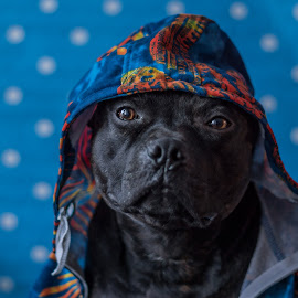 -Rex- by Erik Chavez - Animals - Dogs Portraits ( sony alpha, dog portrait, staffordshire bull terrier )