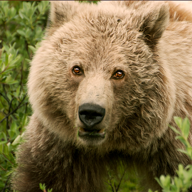 Face to Face by John Larson - Animals Other Mammals ( face, in the wild, brush, portrait, mammal, grizzly bear )