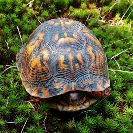 Box Turtle 2015 by Matthew Beziat - Animals Reptiles ( eastern box turtle, maryland reptiles, maryland turtles, anne arundel county, glen burnie, maryland, american reptiles, box turtle, american turtles )