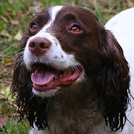 Grubby Tess by Chrissie Barrow - Animals - Dogs Portraits ( grubby, white, portrait, eyes, springer spaniel, damp, mucky, female, pet, fur, ears, brown, wet, dog )