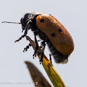 6-spot Leaf Beetle