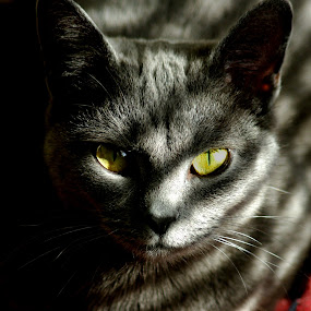 Velvet Shadows by Jenny Gandert - Animals - Cats Portraits