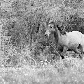 Horse by Elvis Pažin - Animals Horses ( horse running, black and white, pet, horse, running, animal )