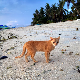 On The Beach by Geoffrey Wols - Animals - Cats Portraits ( sand, sunrise, ginger, cat, beach, philippines, water,  )