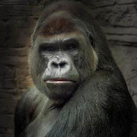 Gorila by Jomabesa Jmb - Animals Other Mammals ( gorila, monos, caras, mamifero,  )