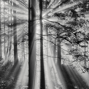 Sunshine Forest by Henrik Spranz - Landscapes Forests ( haze, fog, sunshine, forest, sun, rays )
