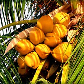 Caribbean Jelly Coconuts by Elfie Back - Nature Up Close Gardens & Produce (  )