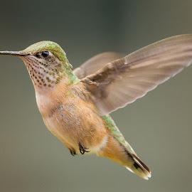 Focus by Dan Kinghorn - Animals Birds ( small birds, hummingbird, hummingbirds in flight, birds, hummingbirds, birds in flight )