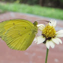Three-Spot Grass Yellow