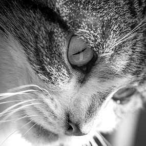 waiting by Kain Dear - Animals - Cats Portraits ( cats, cat, whiskers, fur, mono, eyes )