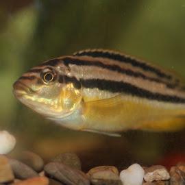 The Chiclid by Gee Emm - Animals Fish ( fish tank, aquarium )