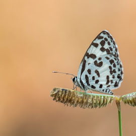 Spotted Pierrot by Visakh C Parayil - Animals Insects & Spiders ( butterfly, black and white spot, oranage, tarucus callinara, visakhparayil, spot, visakh, spotted pierrot, visakh c parayil, pondicherry university, visakh c, pondicherry, india, visakh parayil )