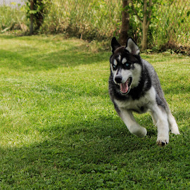 lap one around the yard by Troy Oster - Animals - Dogs Running ( siberian husky, grass, husky, fast, running )