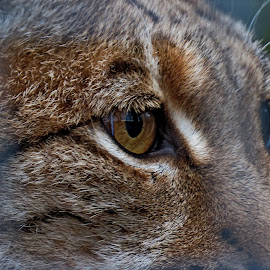by John Harbach - Animals Lions, Tigers & Big Cats ( cat, zoo, wildcat, caged, lynx )
