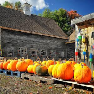 Pumpkins3_r_sh.jpg