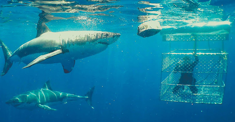 Shark-cage diving in Hermanus