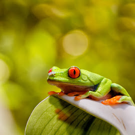 Red eyes by Dikky Oesin - Animals Amphibians