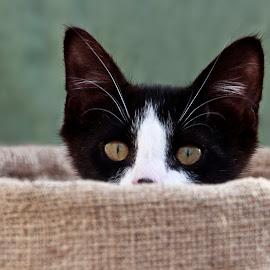 Loverboy by Brook Kornegay - Animals - Cats Kittens ( cat, kitten, tuxedo, feline, eyes,  )