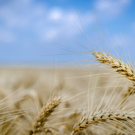 Fields of gold by Nedelciu Alexandru - Nature Up Close Gardens & Produce ( field, wheat, sky, blue, summer )