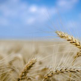Fields of gold by Nedelciu Alexandru - Nature Up Close Gardens & Produce ( field, wheat, sky, blue, summer )