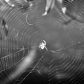 Spider and Web by Sarah Harding - Novices Only Flowers & Plants ( novices only, wildlife, web, spider, animal )