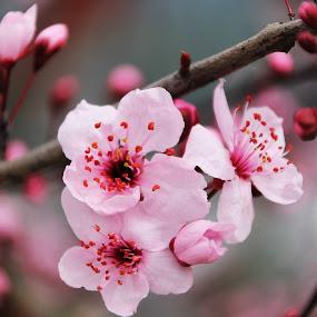 Bahar dalı by Recep Cenbek - Flowers Tree Blossoms ( bahar, dal, çiçek, pembe )