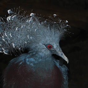 Fancy Head Dress by Sharon Pierson - Animals Birds ( bird, fancy, blue, feathers, red eye )