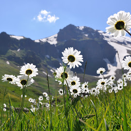 Marguerite in Armenia by Giedre Rein - Landscapes Mountains & Hills ( mountain, armenia, landscape photography, flowers, spring )