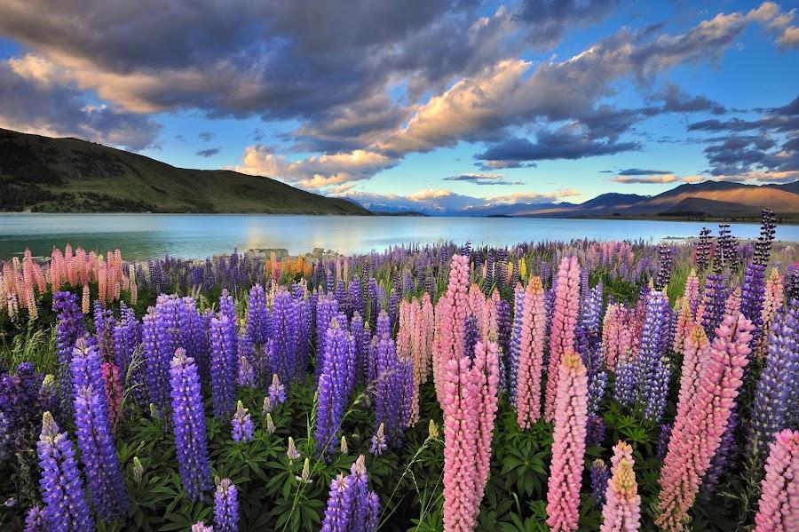 Lupins on the shore of Lake Tekapo by Nadly Aizat Nudri - Landscapes Prairies, Meadows & Fields ( otago, south island, canterbury, lupins, summer, tekapo, flowers, new zealand, mackenzie )