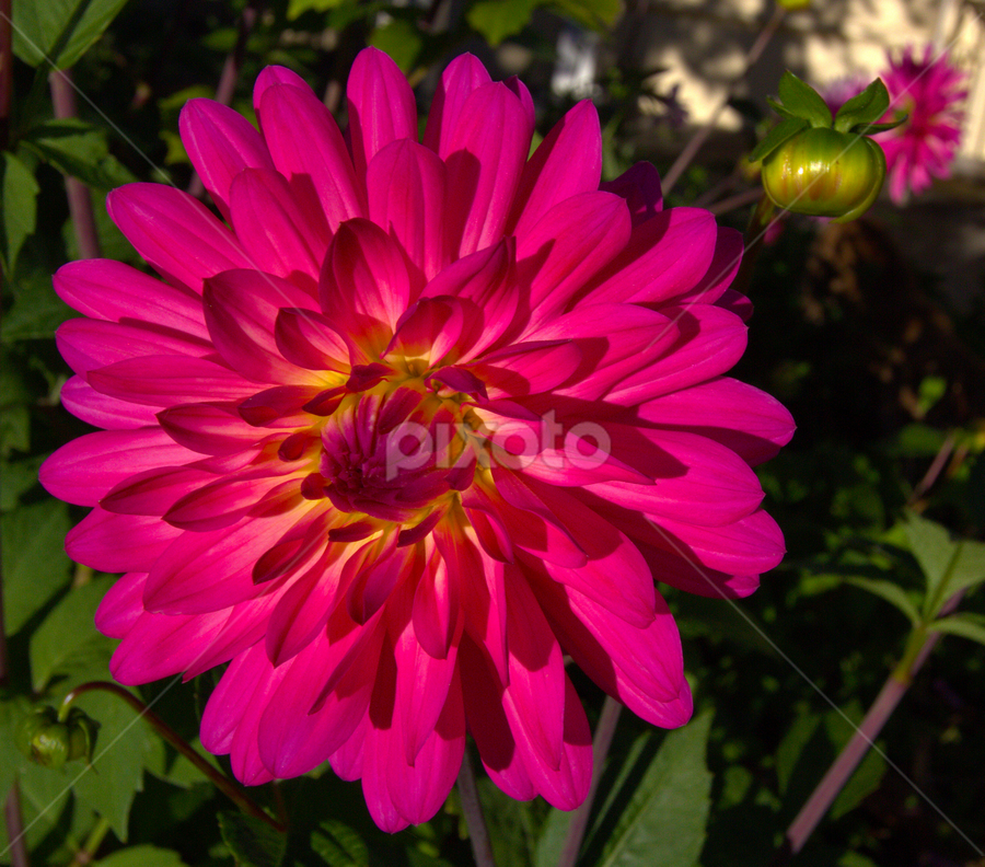Dahlia by Trippie Visser - Flowers Single Flower