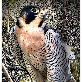Peregrine Falcon In The Mangroves by Sandy Friedkin - Animals Birds ( raptor, falcon, perched, mangroves, peregrine, hawk )