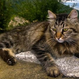 манастирски котарак by Красимир . - Animals - Cats Portraits ( cat )