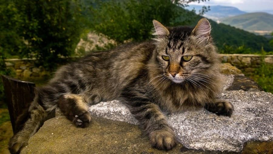 манастирски котарак by Красимир . - Animals - Cats Portraits ( cat,  )
