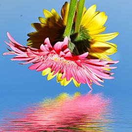 twoo gerbers by LADOCKi Elvira - Digital Art Things ( nature, flowers, garden )