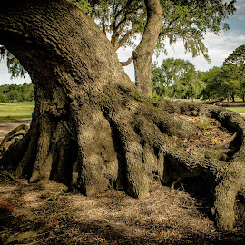 live oak by Prentiss Findlay - Nature Up Close Trees & Bushes ( big roots on tree, tree roots, live oak roots, roots, roots on tree )