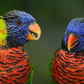 Loriquets by Gérard CHATENET - Animals Birds