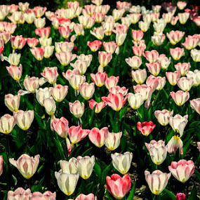 Transparent Tulips by Hansen Christian - Landscapes Prairies, Meadows & Fields