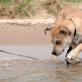 Winnie by Fraya Replinger - Animals - Dogs Playing ( playing, water, lake, puppy, beach, dog )