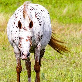 pregnant horse by Jason Day - Animals Horses