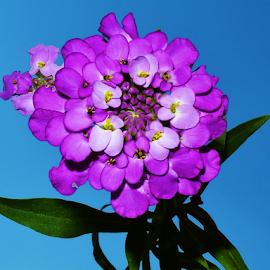 purple flower by LADOCKi Elvira - Flowers Flower Gardens ( flowers )